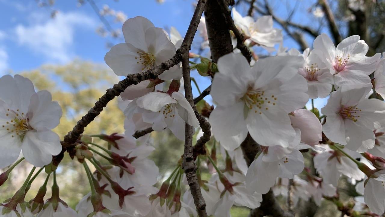 西武庫公園 桜